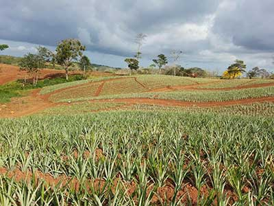 Pineaple farm caring of pineapple crops