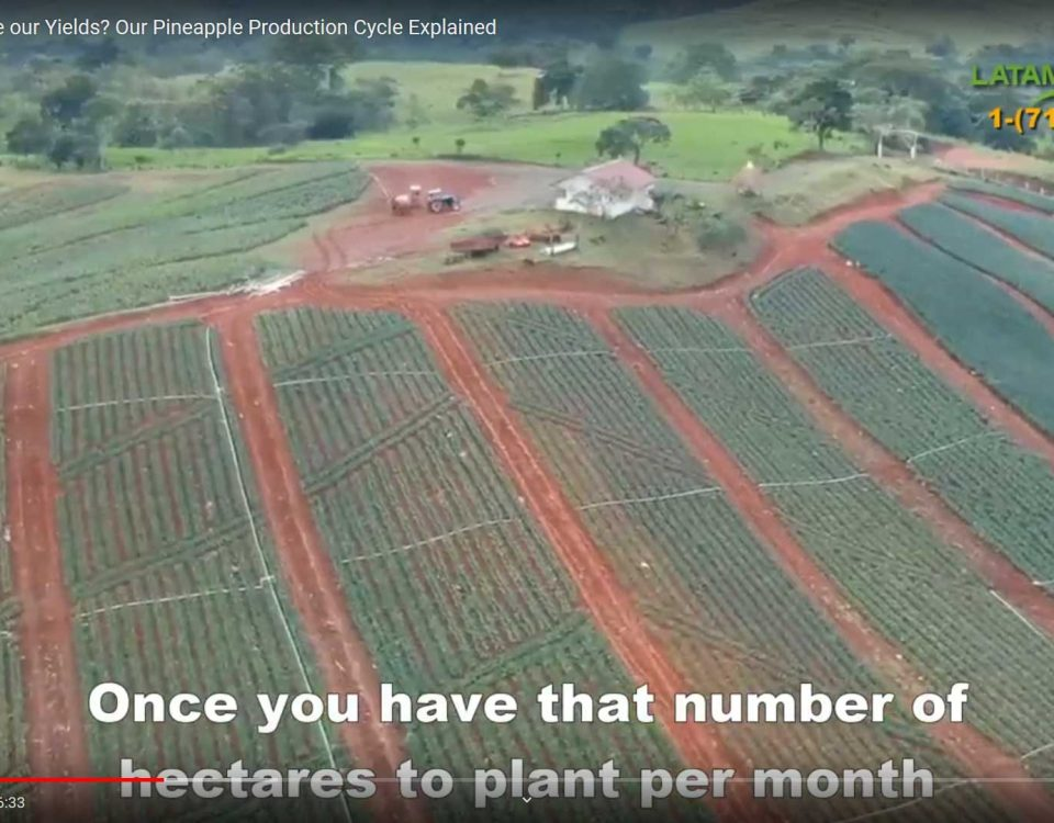 Panama pineapple farm production