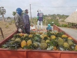 first pineapple harvest unloading