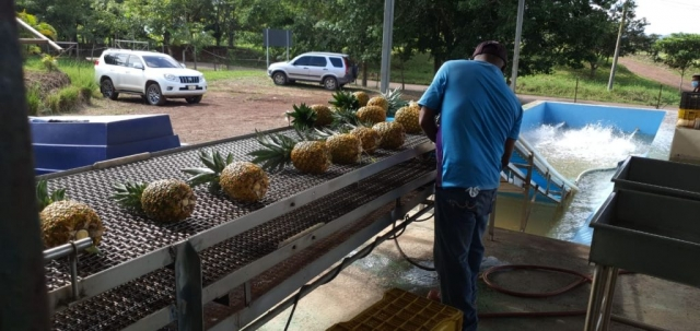 Our Colorada Fresh Pineapples at packhouse being packed for air shipping