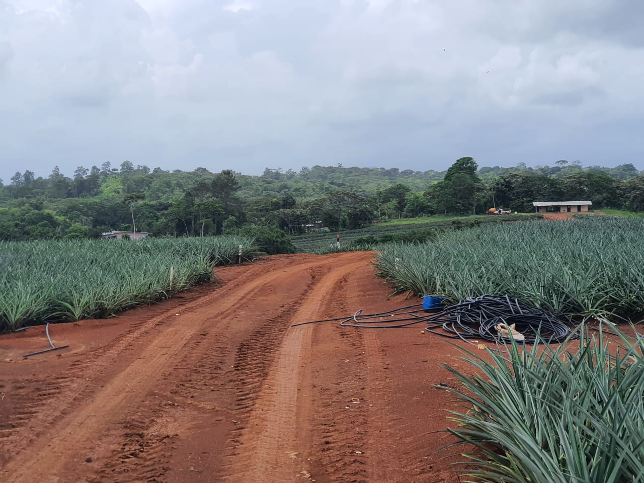 Colorada Fresh Pineapples - phase 3 lots